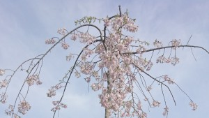 11記念樹開花